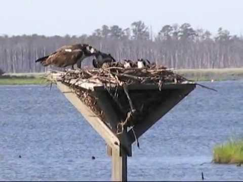 a report on ospreys or fish hawk Red-shouldered hawk  jersey's ospreys report nesting activity on osprey watch for the 2013 census what do ospreys eat ospreys feed primarily on fish which.