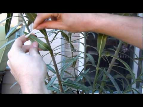 How to Get Rid of Scale Insects Getting Rid of Scale Insect on