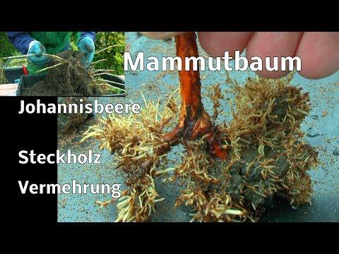 Steckholzvermehrung Urweltmammutbaum und Johannisbeere nach einem Jahr der Erfolg im Garten