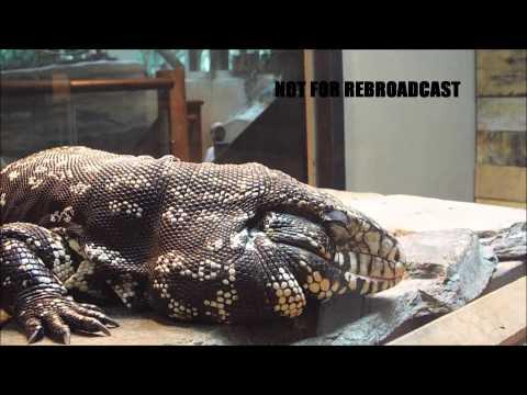 Reptil Tegu de Argentina impresionate !!!