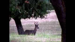 Blacktail deer bowling with apples my kind of deer hunt