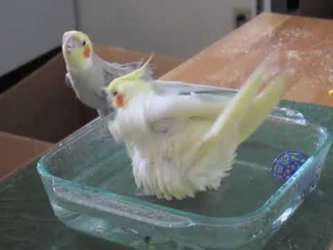 Cockatiel Bath Time! Music Videos