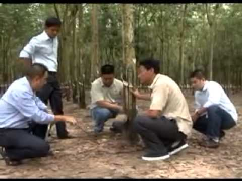 Soil Conditioner WEHG with 100% Natural Herb on Rubber Tree in TAY NINH Province, Vietnam