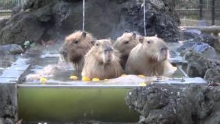 カピバラ温泉 Capybaras' Onsen.