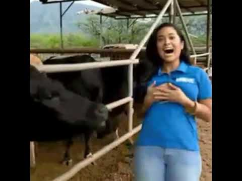 Female Reporter breast is licked by cow thumbnail