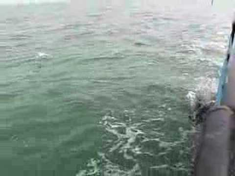 Dolphins at Dauphin Island clip 4h