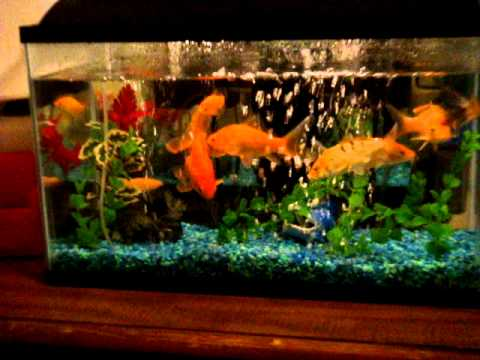 20 gallon aquarium for goldfish 20 gal for How many fish can be in a 20 gallon tank