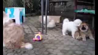 Samoyed & chow chow puppies 42 days old Kennel Virta Valo