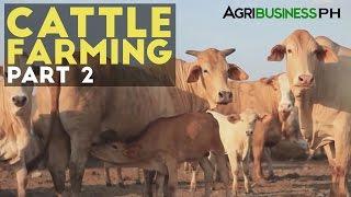 Cattle Farming Part 2 : Zero Grazing Cattle Farming | Agribusiness Philippines