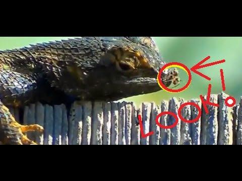 Lizards Eat Spiders Lizard Eats Spider Man