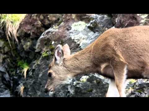 Deer on the beach - Little Beach Ucluelet