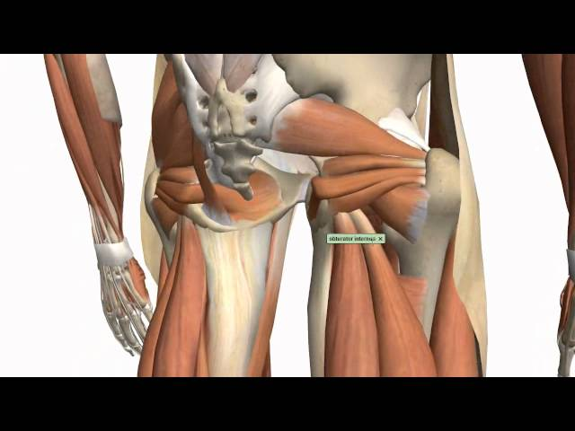 Muscles of the Thigh and Gluteal Region - Part 1 - Anatomy Tutorial