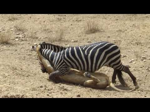 Amazing: Lion Vs Zebra | Lion Kills Zebra Almost | Lion Hunting Zebra | Zebra Escapes Lion Kill video