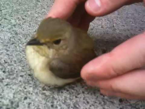 逃げない鳥 / Un Angry Birds