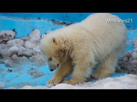 ララに呼ばれて急いで戻るこぐま~Polar Bear twin cubs