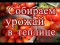 Помидоры в теплице. Сбор урожая. (30.07.2016)