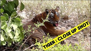 Ranthambore Tiger beating summer Heat: Resting in shade
