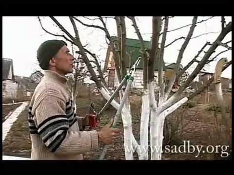 Правильная обрезка яблони.