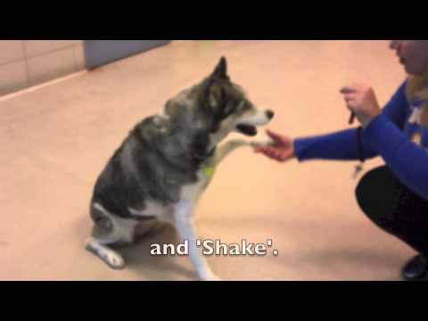 Shadow, a 10 year old Alaskan Husky mix available for adoption at the Wisconsin Humane Society
