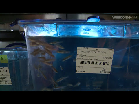 Science and beauty and the zebrafish