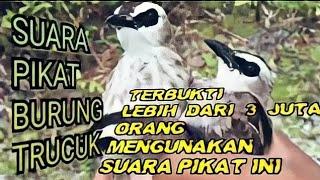 SUARA PIKAT BURUNG TRUCUK/TRUCUKAN