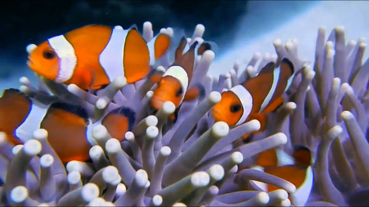 Clown fish happy family anemone fishes youtube for Buy clown fish