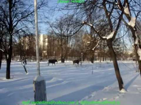 лоси на территории МГСУ-МИСИ