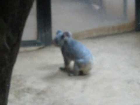 【動物園】歩く?走る?かわいい!コアラ