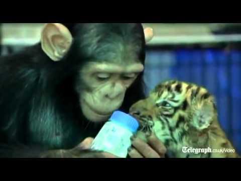 Chimpance alimentando a tigre bebé en zoologico