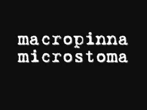 Macropinna Microstoma