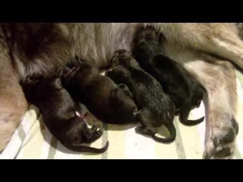 Newly Born German Shepherd Puppies German Shepherd Pups Just Born