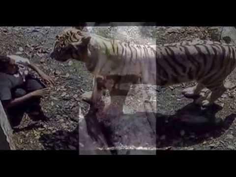 Video Amatir Harimau Putih Terkam Pria India Di Kebun Binatang video