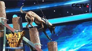 [挑战不可能 第三季]中国军犬以服从为天职 8米高空挑战天性   CCTV挑战不可能官方频道