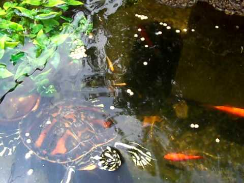 Turtle Enjoys The Outdoor Pond Youtube