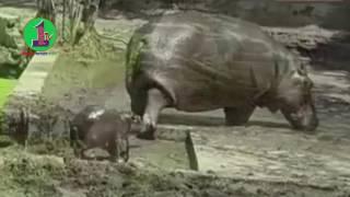 জলহস্তীর সংসারে জলপরি কন্যা, ভিডিও দেখুন!
