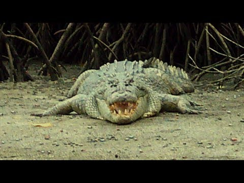 A Mate in Australia 02  Anti-crocodile song in Cape Tribulation (music by Skwhere)
