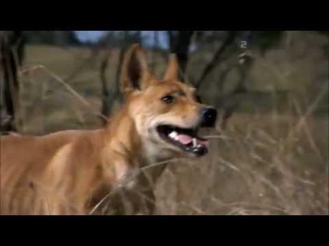Dingo Wild Dog at War