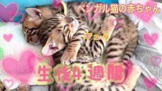 【生後4週間】ヤンチャ全開!ベンガル猫ベルの子猫の成長記録