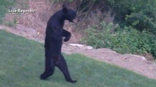 ABCニュースが伝えるクマが二足歩行する理由とは?!