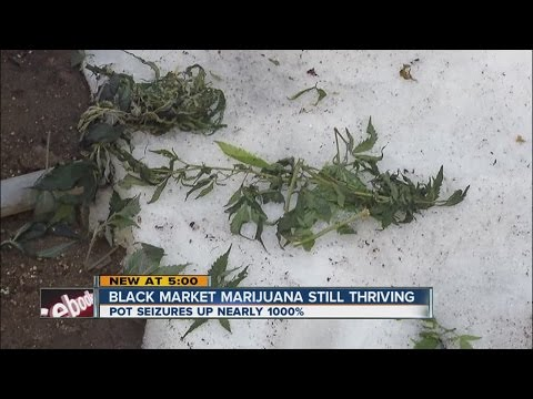 Black market marijuana still thriving in Colorado