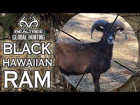 EXTREME Airgun Hunting: Black Hawaiian Ram with the Benjamin Rogue .357