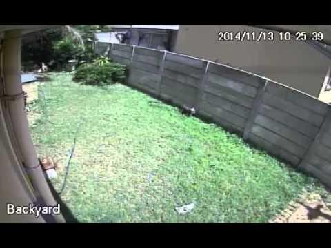 Mini perro contra ladron