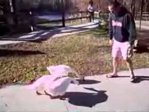 Goose attack: When men and dogs are targeted Video