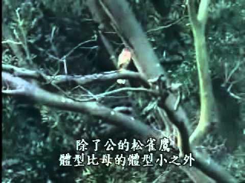 【陽明山國家公園管理處】草山鷹飛-松雀鷹分辨雌雄