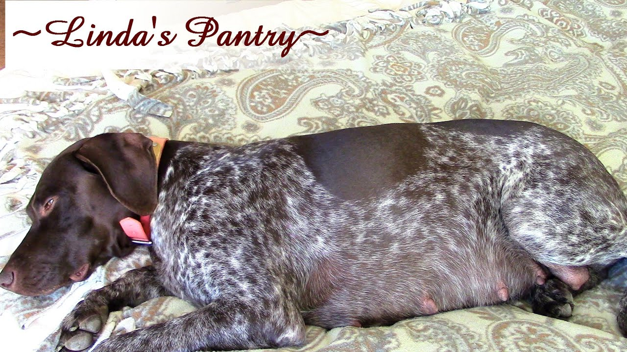 Sage German Shorthair Pointer At 55 Days Pregnant With