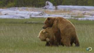 A Grizzly Love Triangle | Great Bear Stakeout