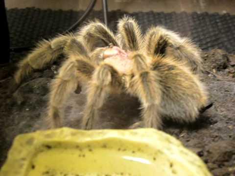 Tarantula Web Spinning my Rose Hair Spinning a Web