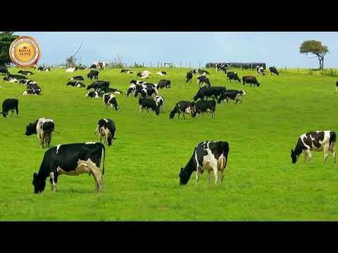Sữa truyền thống 160 năm Royal Ausnz - Sữa hoàng gia số 1 tại Úc