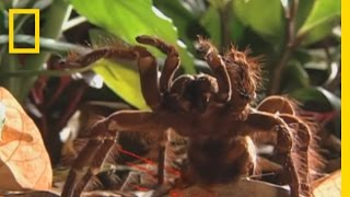 How to Survive a Giant Tarantula Encounter