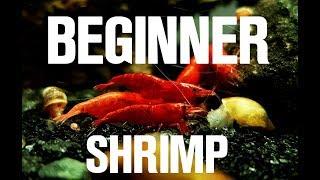 BEST BEGINNER SHRIMP! CHERRY SHRIMP BASIC CARE